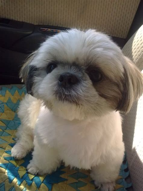 shih tzu age shih tzu getting spayed at age 5 questions poodle biting clean dogs city