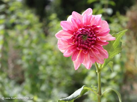 blooms of dahlia barbie bedroom decor flowers dahlia pictures 28 images flowers wallpapers
