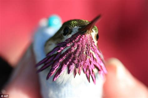 hummingbird live five times longer than thought study