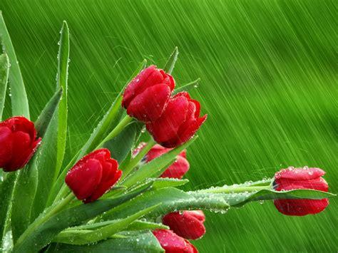lada tulip flowers pics lada