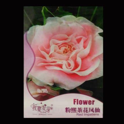 Bibit Bunga Camelia benih bunga pink camellia impatiens 25 biji retail asia