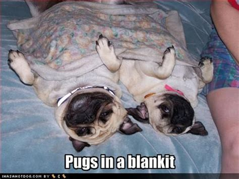 pugs with captions photos with captions 3 motley dogs