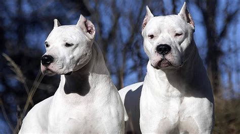 top 10 guard dogs top 10 guard dogs 1001doggy