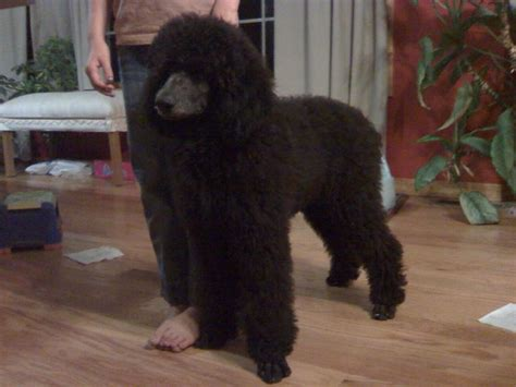 standard poodle grooming styles pictures different standard poodle cuts