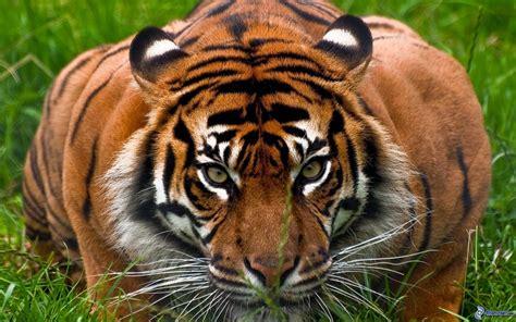 minicuentos de tigres y 8448837118 el blog de un palmero curiosidades del tigre