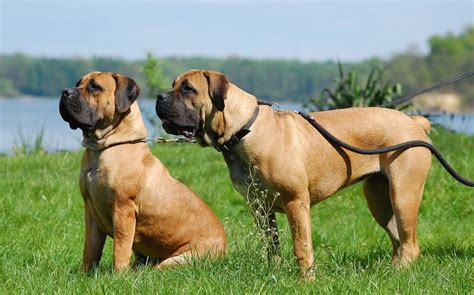 boerboel puppies boerboel information health pictures pet paw