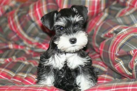 miniature schnauzer puppies for sale in va what do you by behavioral implementation standard schnauzers for sale in