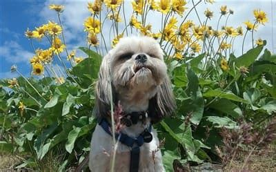 shih tzu heat stroke shih tzu summer heat issues and care guidelines