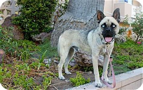 adopt a pug los angeles channing adopted los angeles ca husky pug mix
