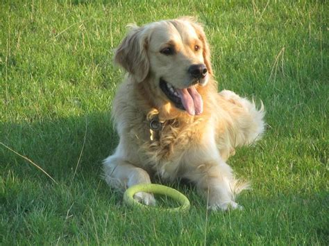 golden retriever information and facts golden retriever facts and information viovet