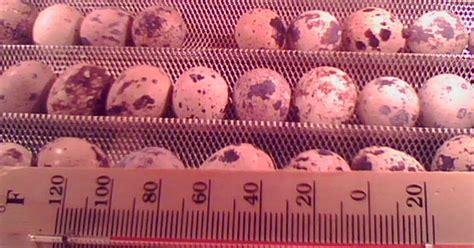 Isi 6 Ruby Rak Putar cara menetaskan telur puyuh hari 4 puyuh blitarcara