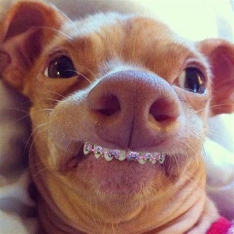 Overbite Dog Meme - cachorro usando aparelho nos dentes verdadeiro ou falso