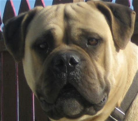 mastiff puppies for sale in indiana bullmastiff puppies for sale mastiff puppies bully puppies for sale