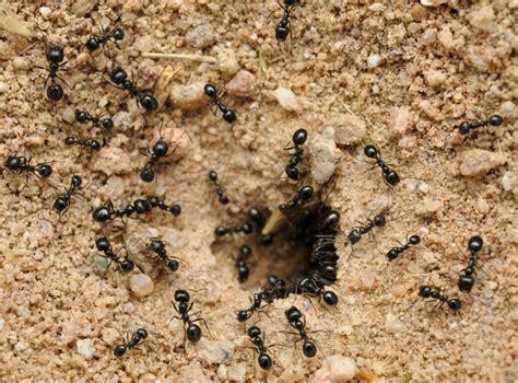 black ants black ants 541 findapestpro pest
