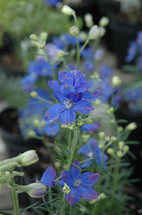 blue mirror delphinium delphinium grandiflorum blue