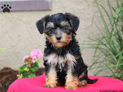 yorkie bichon mix puppies for sale in pa yorkie mix puppies for sale greenfield puppies
