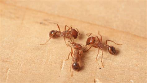come eliminare le formiche in cucina come eliminare le formiche in modo naturale ultime