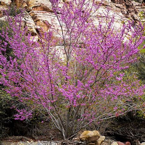 japanese redbud tree photos buy oklahoma redbud trees l the tree center