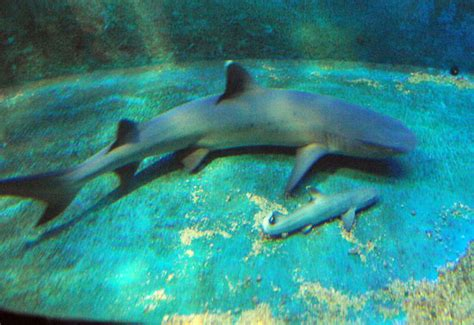 baby shark zoo the scoop shark virgin welcomes baby shark nurse