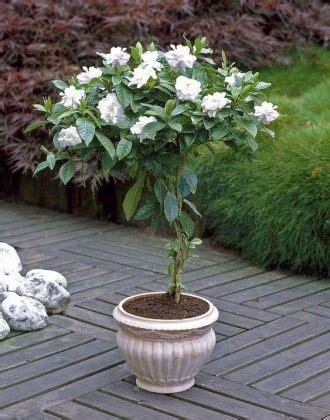 growing gardenia  pot garden web tree care