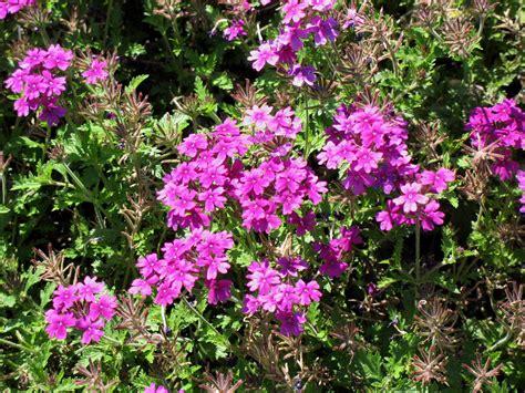 online plant guide verbena rapunsel purple rapunsel verbena