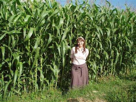 Bibit Jagung Manis Tongkol Besar inovasi tanam jagung rapat menghasilkan produksi tinggi