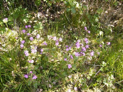 Geranium Sauvage Fleur by G 233 Ranium Sauvage Photo De Plantes Et Fleurs De L 233 Tang