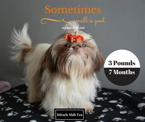 sweet and sassy shih tzu imperial shih tzu myth or reality