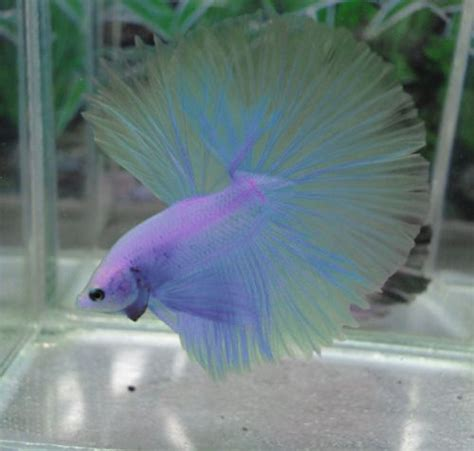 47 Best Images About Beta 129 best i want a betta images on fish aquariums aquariums and betta