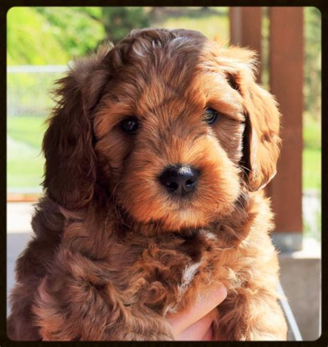 puppies for sale in kalispell mt labradoodle puppies for sale
