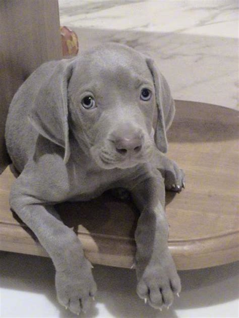 Dogs Grey weimaraner breed information history health pictures