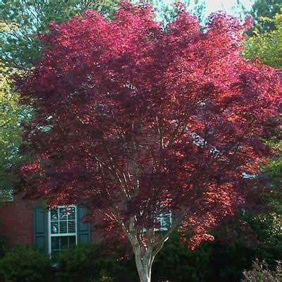 more about the emperor 1 japanese maple back yard 3 emperor the o jays and