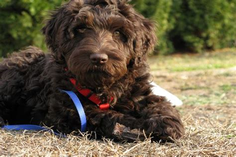 hypoalergenic dogs 10 list of hypoallergenic breeds and fur