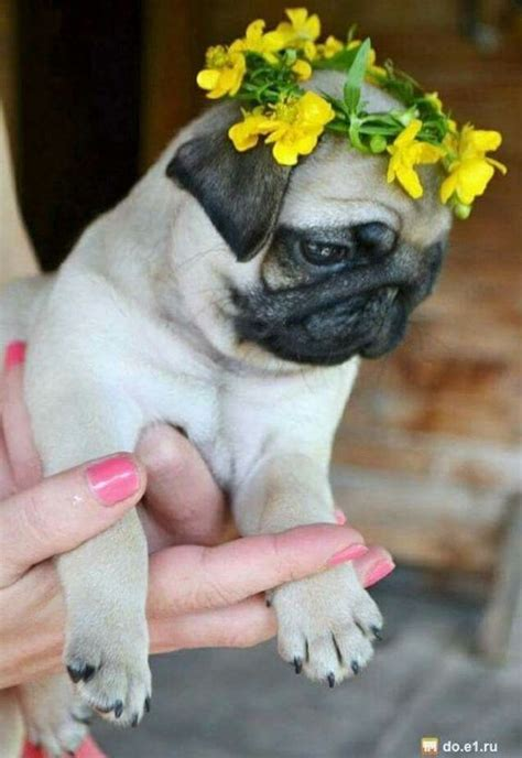 pugs with children the world s catalog of ideas