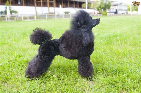 mini poodle information miniature poodle breed information buying advice