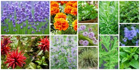 12 garden plants that repel mosquitos so you can enjoy being outsideliving rich with coupons 174