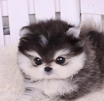 husky shih tzu 17 best images about dogs on teacup maltese puppies puppys and kittens