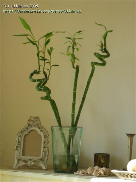 dracaena sanderiana quot bambous quot porte bonheur plantes d