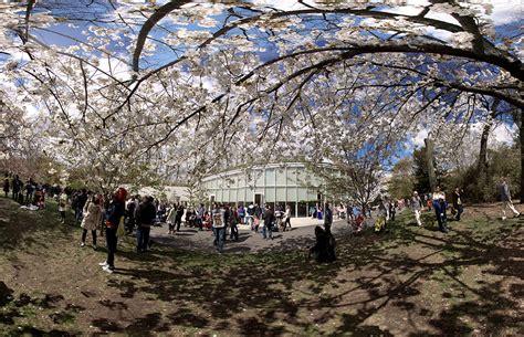 botanical garden cherry blossom 2014 botanic garden cherry blossom festival 2014