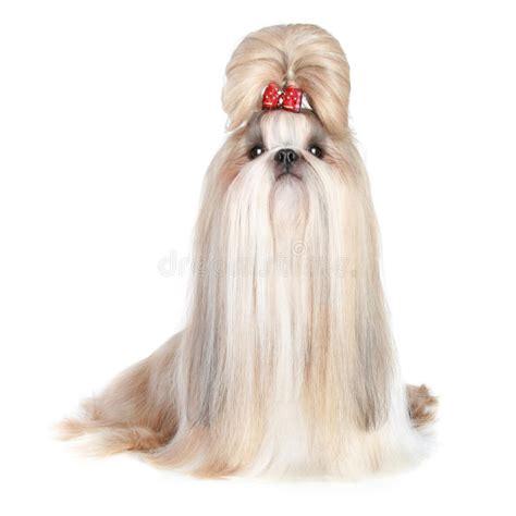 shih tzu precio perro shih tzu de la casta imagen de archivo imagen de preciosamente rojo 17656769