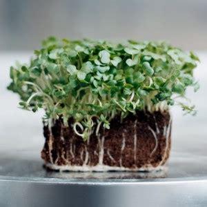 come cucinare i semi di soia germogli e cress