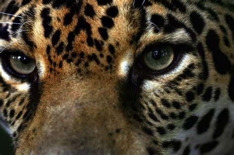 imagenes de ojos de jaguar 302 found