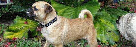 compassionate pug rescue compassionate pug rescue a non profit all volunteer pug rescue organization