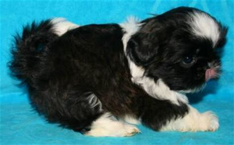 shih tzu puppies for sale in indiana nursery indiana shih tzu puppies for sale in akc shih tzu