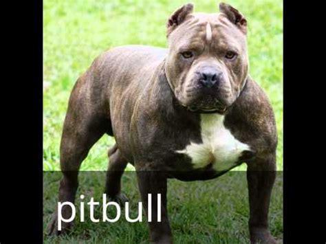 dogs 101 pitbull dogs 101 doberman pitbull staffordshire bull terrier and st bernard