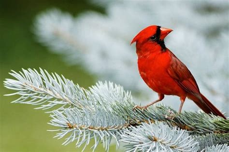 cardinal color colors for critters cardinal color