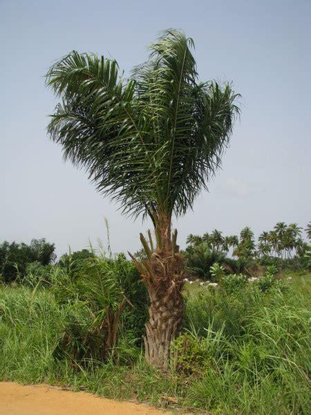 Le Palmier le palmier 224 huile burkina faso