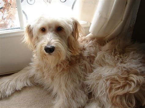 goldendoodle puppy allergies 51 best scout images on goldendoodles coats
