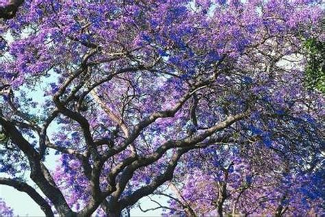 trees with purple bell shaped flowers hunker