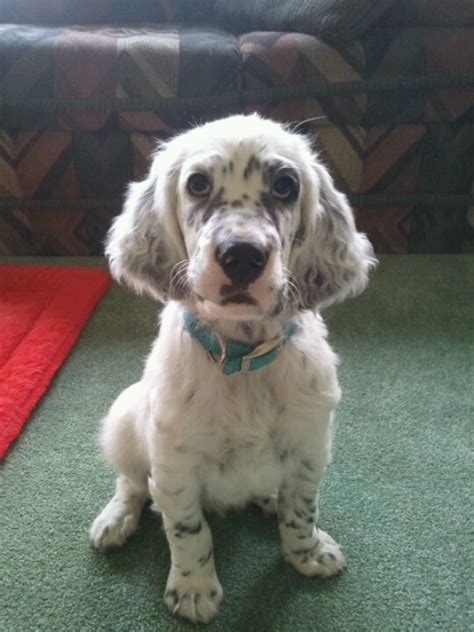 Female English Setter Dog Names | 1000 ideas about boy puppy names on pinterest puppy